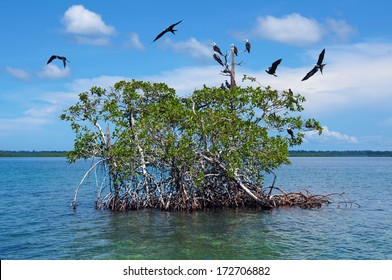 Islet of mangrove with seabird Magnificent Frigatebird, Caribbean sea, Bocas del Toro, Panama