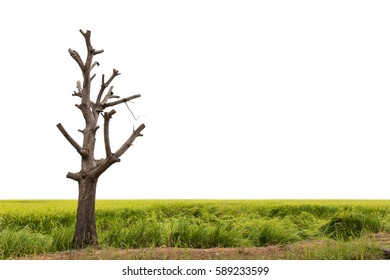 Isolate bare tree branches trimmed and then set on a ridge in the green paddy fields.