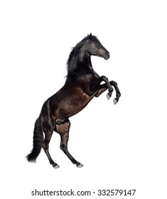 isolate of the black reared horse on the white background