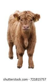 isolate calf breeds Highlander cow Scotland.  Isolated the Highlander cow Scotland.