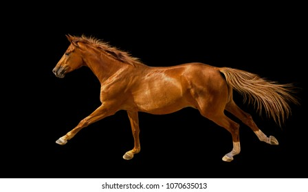 Isolate of the chectnut young horse cantering on the black background.