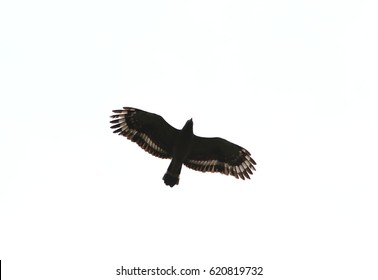 isolate Crested serpent eagle flying