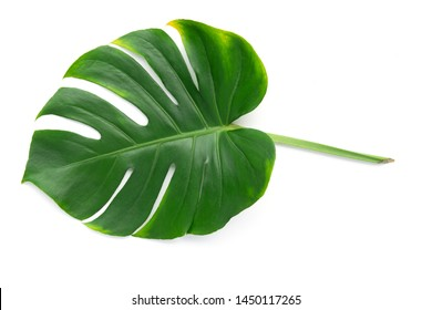 Isolate Dark green Monstera large leaves, philodendron tropical foliage plant growing in wild on white background with clipping path concept for flat lay summer greenery leaf texture rainforest floral