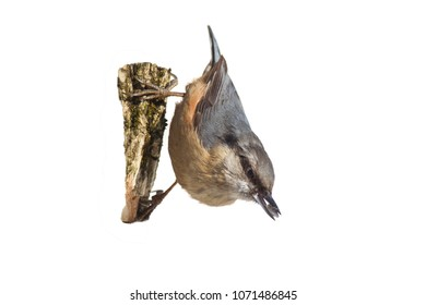 isolate Eurasian nuthatch or wood nuthatch (Sitta europaea).  nuthatch on a white isolated background