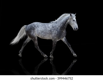 isolate of a gray horse go on the black background