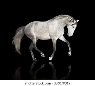 isolate of the gray horse step on the black background
