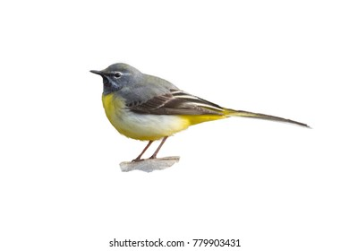 isolate gray wagtail (Motacilla cinerea) on a white background. isolate males and females gray wagtail (Motacilla cinerea)