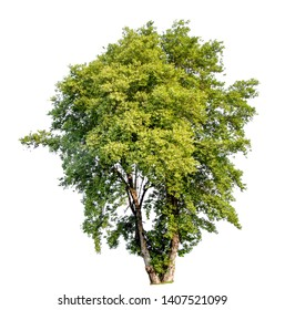 Isolate pictures of green tree. Large perennial on white background. tree dicut at isolated. Beautiful green trees in Thailand. Used for teaching biology of plants.
