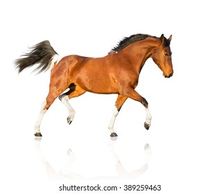 isolate of the piebald horse run on the white background