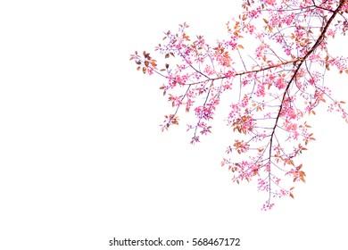 isolate Sakura flowers branch