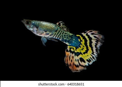 Isolate Tiger guppy fish while swimming on background.