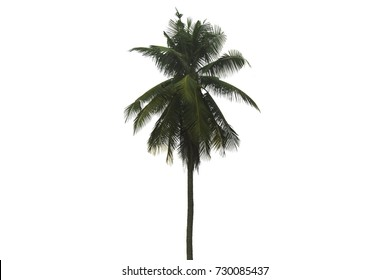 Isolate Tropical Coconut tree on white background.