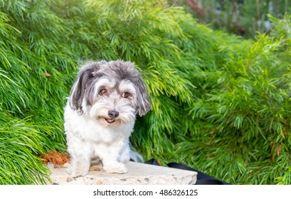 Isolated adorable  Lhasa Apso posing in front of green foliage