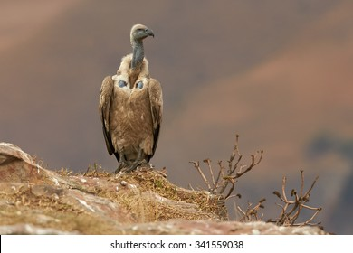 Isolated, an adult Cape vulture, Gyps coprotheres,  sitting on the edge of the rock in the morning light against distant, blurred Drakensberg mountains in background.