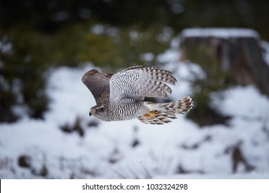 Isolated against abstract winter forest, typicaly flying  Northern goshawk, Accipiter gentilis. Female, very quickly flying  bird of prey in its native forest environment. Animal action scene.