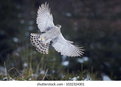 Isolated against abstract winter forest, directly flying bird of prey, Northern goshawk, Accipiter gentilis,female, raptor with outstretched wings and raised talons. Animal action scene.