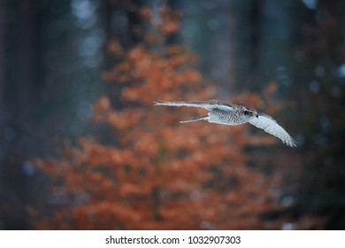 Isolated against abstract winter forest, typically flying Northern goshawk, Accipiter gentilis. Female,quickly flying bird of prey in its native forest environment. Animal action scene. Winter nature.