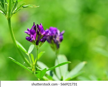 Isolated alfalfa flower. Alfalfa (Medicago sativa), also called lucerne, is a perennial flowering plant in the pea family. Its cultivated as an important forage crop throughout  the world.