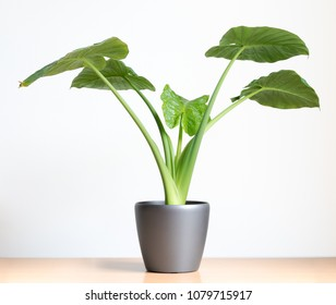 isolated Alocasia Portadora houseplant, elephants ear plant on table in front of white wall