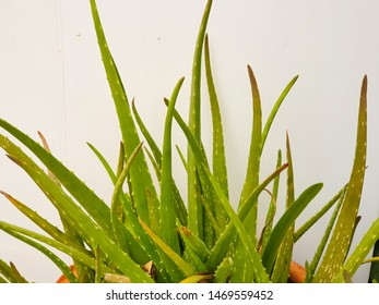 Isolated aloe vera on white background with clipping path