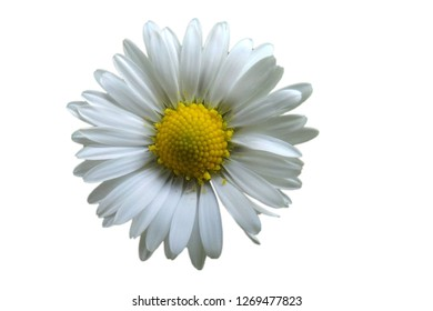 An isolated America chamomile flower c,flower,white