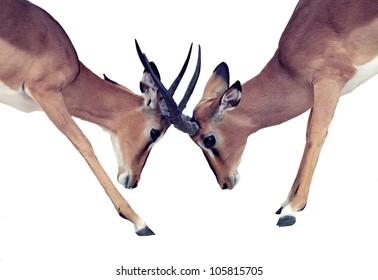 Isolated animal battle