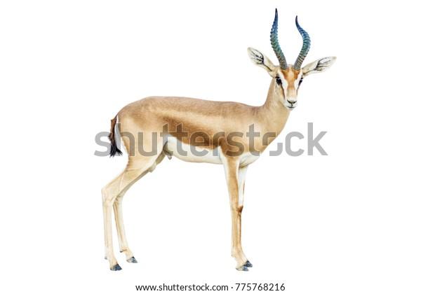 isolated-antelope-on-white-background-60