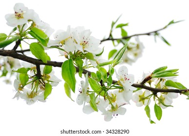 Isolated Apple Blossoms
