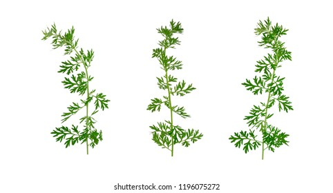 Isolated Artemisia Medicinal Herb Plant. Also Mugwort, Wormwood, and Sagebrush.
