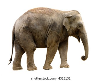 isolated Asian Elephant