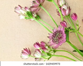 Isolated astrantia blossom on vintage paper background. Macro shot of two delicate astrantia flowers in paper. Astrantia major.