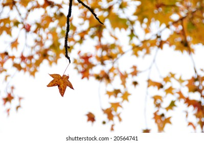 Isolated autumn leaf hanging on