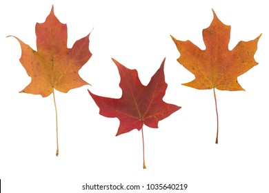 ISOLATED AUTUMN LEAVES ON WHITE BACKGROUND, CLIPPING PATH INCLUDED