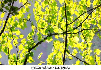 Isolated back lit leaves brightly lit by sun
