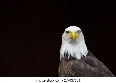 Isolated Bald Eagle portrait/Isolated Bald Eagle portrait/Isolated Bald Eagle portrait against a black background