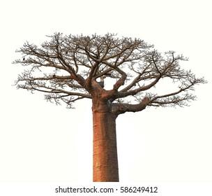 Isolated Baobab tree from Madagascar
