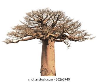 Isolated baobab tree over white background
