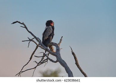 Isolated Bateleur eagle, Terathopius ecaudatus, picturesque raptor on branch in its natural environment of Kgalagadi transfrontier park, Botswana, illuminated by rising sun. Wildlife photography.