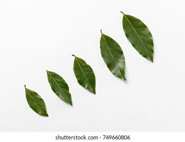 Isolated bay leaf. Laurel  leaves on a white background. Bayleaf. laurel lea.