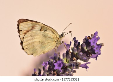 Isolated beautiful butterfly of the species Melanargia which is part of the Nimphalidae family photographed on lavender flowers in the light of the sunset.