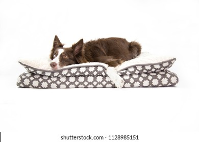 isolated beautiful dog looking up , laying in a puppy bed waiting for something to happen. In white background. The dog is a brown border collie