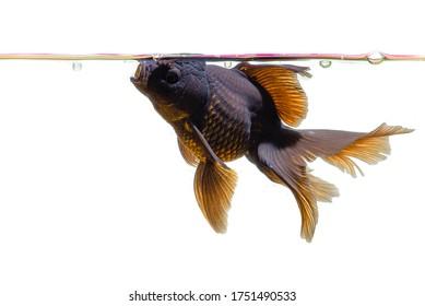 isolated beautiful goldfish on white background