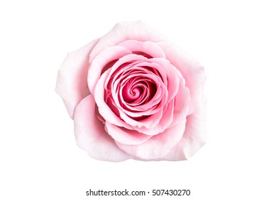 Isolated Beautiful rose on white background