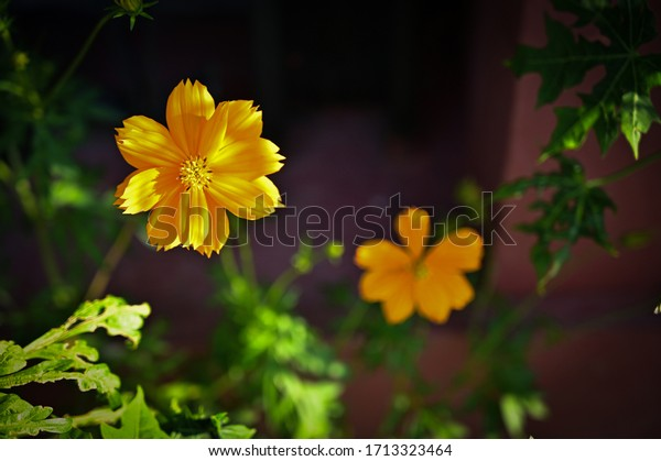 Isolated beautiful yellow flower close up view with dark blurred background