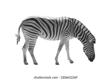 Isolated beautiful zebra on white background