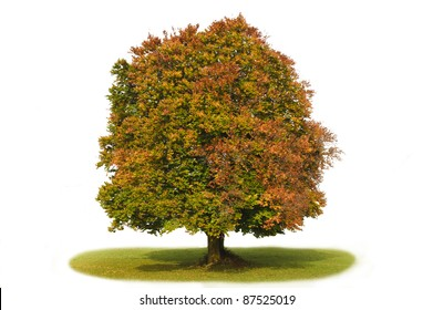 isolated beech tree in autumn