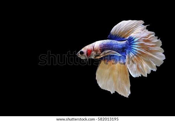 Isolated betta fish on black background