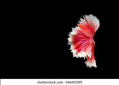 Isolated betta fish,tail color red or Siam fighting fish on black background,,copy space.