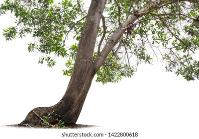 isolated big tree on White Background. tropical trees isolated used for design, advertising and architecture