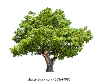 isolated big tree on White Background.Large trees database Botanical garden organization elements of Asian nature in Thailand, tropical trees isolated used for design, advertising and architecture